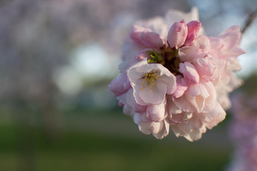 Potomac river cherry blossoms